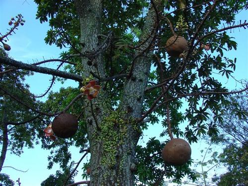 Cannonball Tree (Dsc03248)