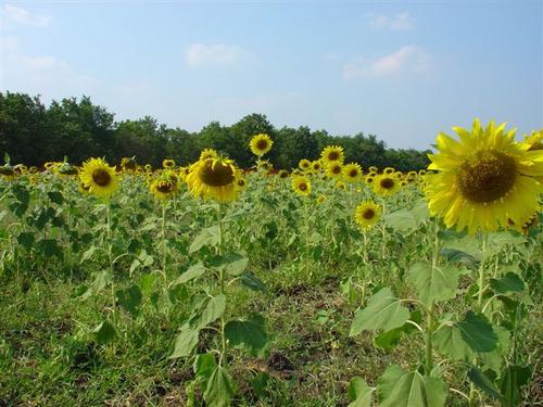 3a. Sunflower field at Lopburi (Dsc02344)